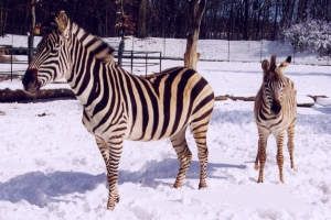 Winter-Zebras